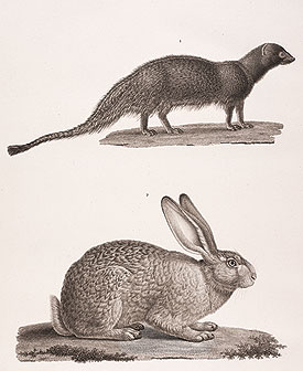 Egyptian mongoose and rabbit